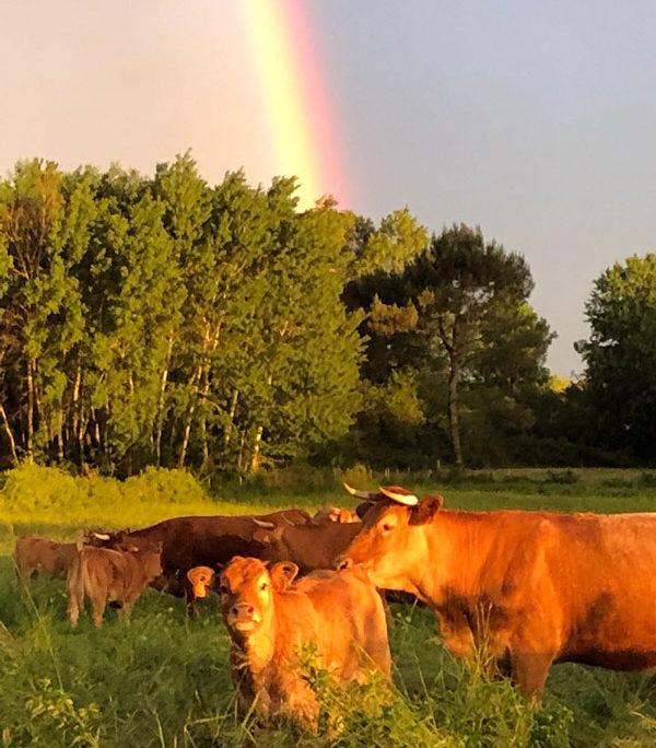 troupeau de vache bio en gironde